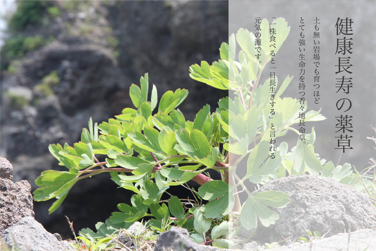 香々地長命草(紫ボタンボウフウ)